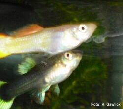 Aquarium fische eu aquarium haltung fische arten for Kampffische arten